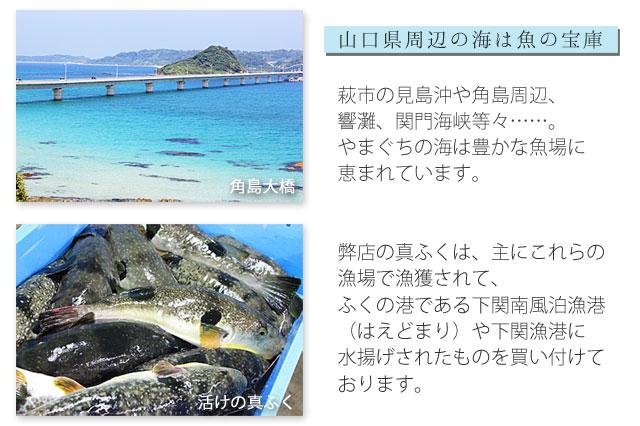 日本海、山口県の海で獲れる真ふぐ